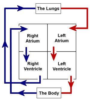 Best 25+ Diagram of the heart ideas only on Pinterest