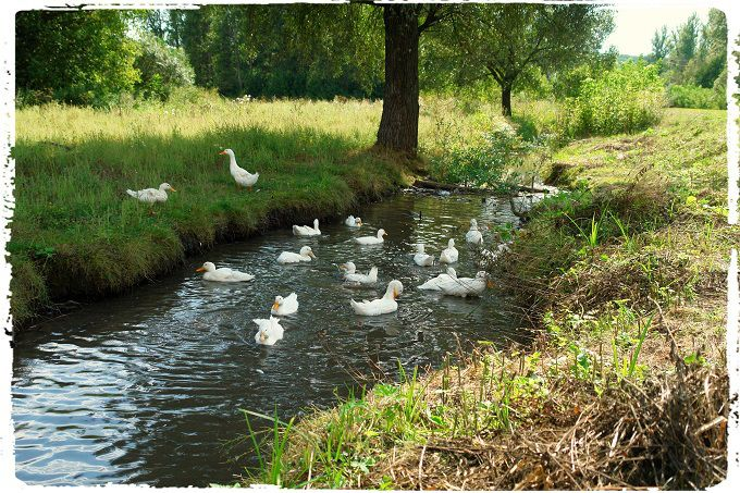 Rural Russia #2. #poetry #freeimages #freepictures #freephotos #haiku #summer #pond #geese #ruraltourism #ecotourism #agritourism #water