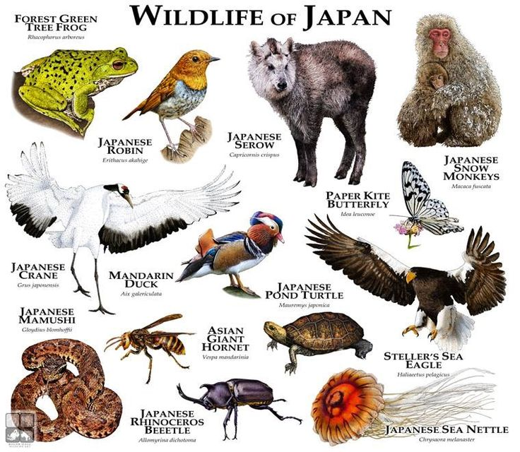 Wildlife of Japan... ...ROGER D HALL.....a scientific illustrator specializing in wildlife and architectural subjects....predominantly self-taught....works with pen and ink....artwork has appeared in numerous media (newspaper, books, website, etc)....a Minnesota native now based in Oakland, California....associated with several zoos and aquariums in the US