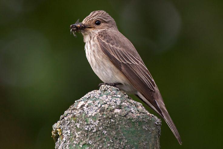Grauschnäpper. Der Grauschnäpper ist ein kleiner Vogel, dem Sperling sehr ähnlich. Er ist in Europa und Asien zu finden und gilt als Zugvogel. Er fängt meist Insekten, die herumfliegen, Fliegen, Schmetterlinge, Mücken und Wespen. Sie leben in dichten Wälder, Parks und Gärten und lieben Flächen, welche nur vereinzelte Bäume aufweisen.