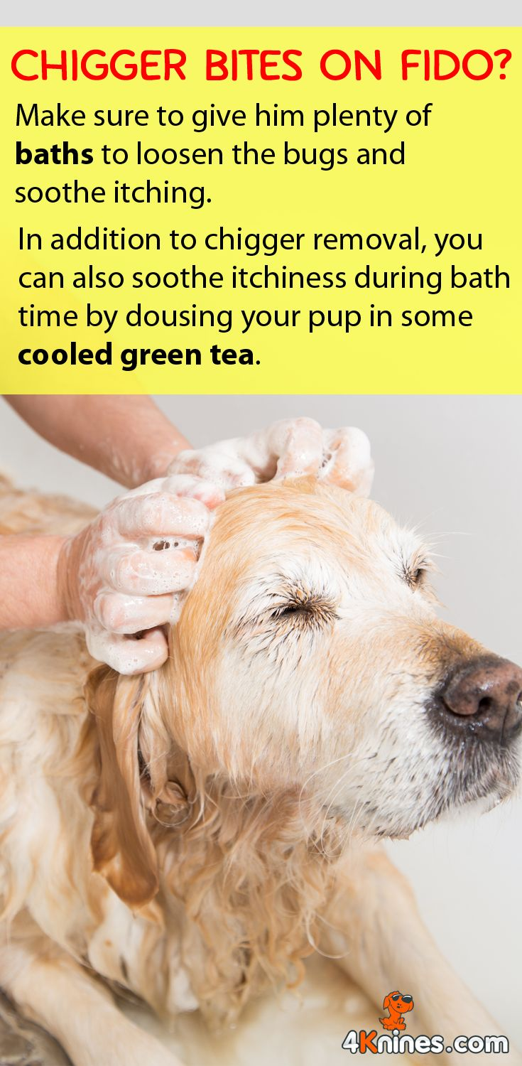 In addition to chigger removal, you can also soothe itchiness during bath time by dousing your pup in some cooled green tea. Make sure to also use your 4Knines Car Seat Cover when you visit the park or trail to avoid bringing chiggers into your car: http://4knines.com/collections/all