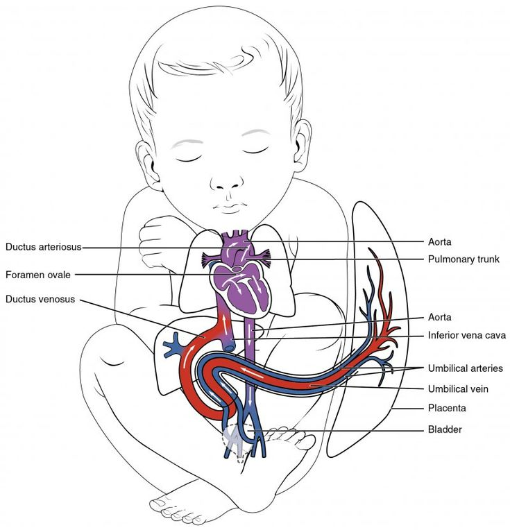 Cardiovascular System (Circulatory System): Parts and ...