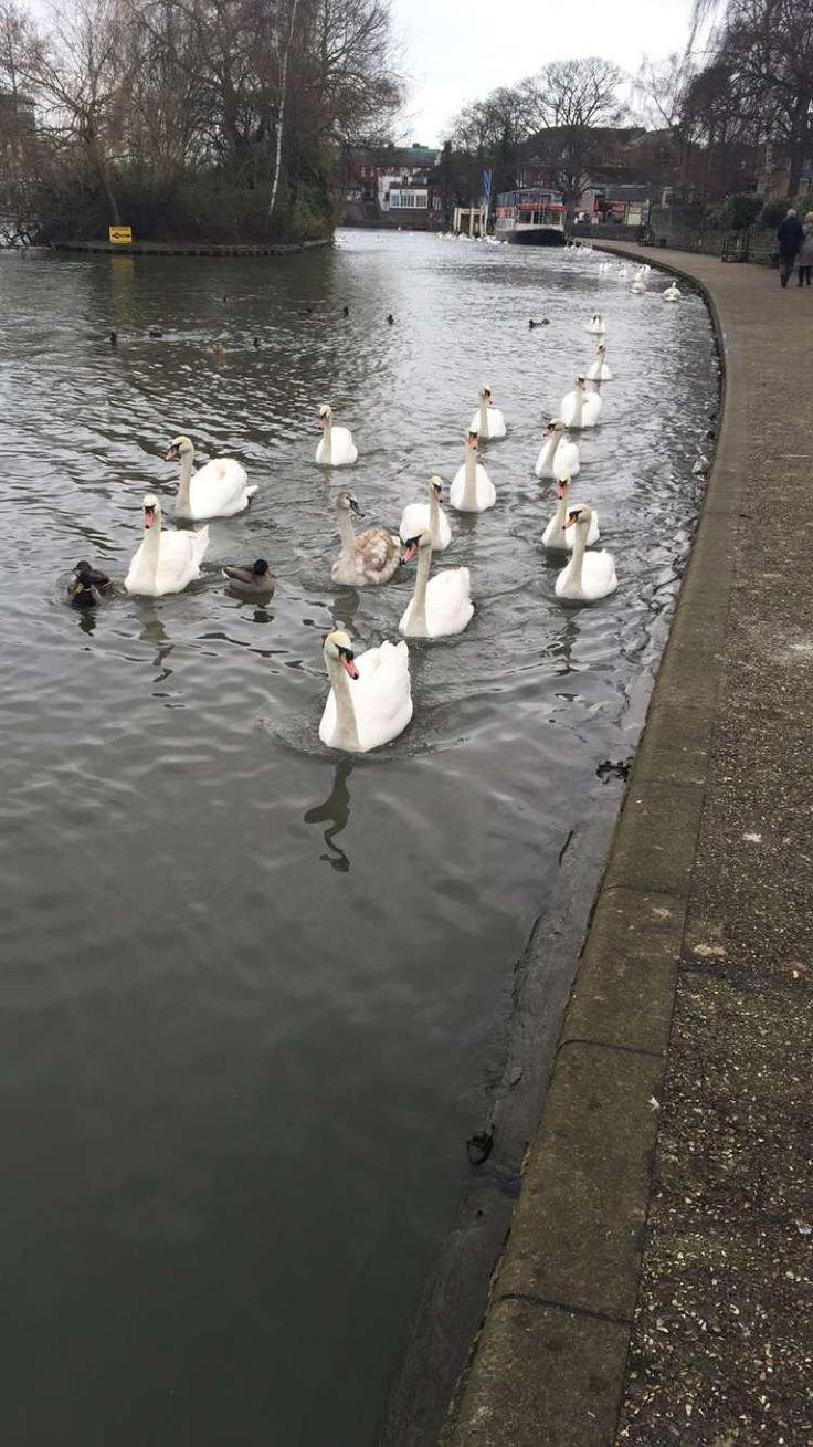 The amazing Queen's swans following us, so adorable!