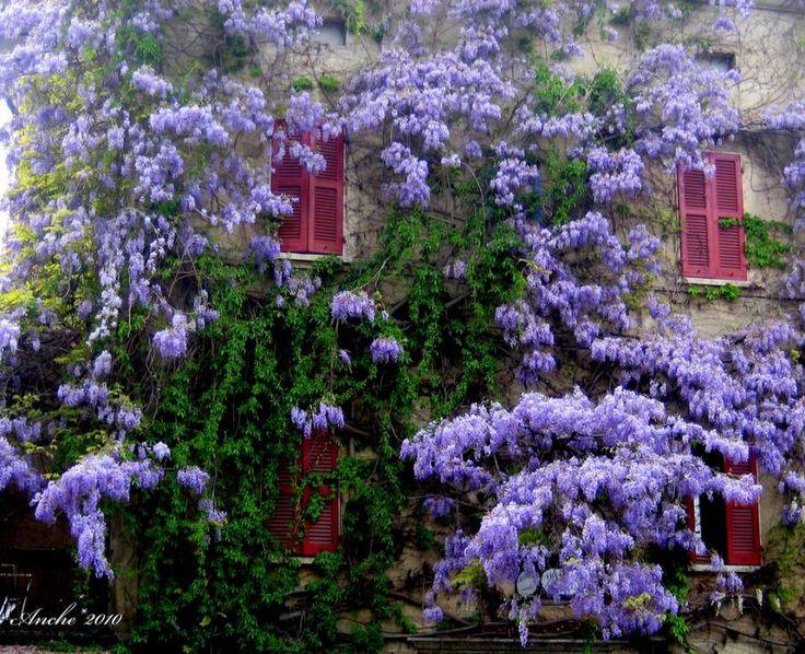 I do so love wisteria..: Purple, Cottage, Beautiful, Wisteria, Gardens, Gardening, Windows, House, Flowers