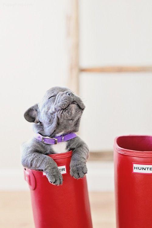 French Bulldog Pictures (n92w662su3z)