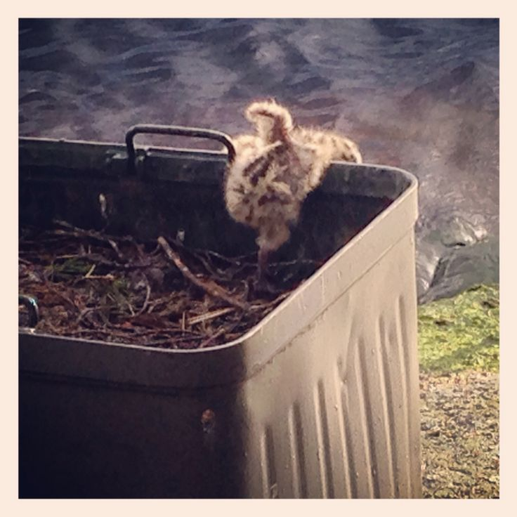 A baby common gull