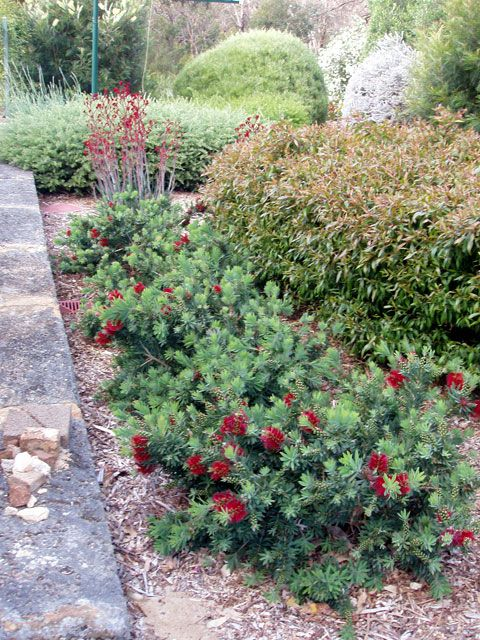 1386 best australian native gardens images on pinterest for Australian native garden designs
