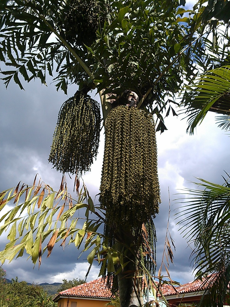 530 best images about caribbean tropical flowers plants. Black Bedroom Furniture Sets. Home Design Ideas