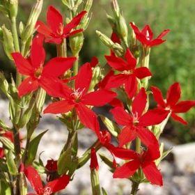 Silene regia Smelle 50cm