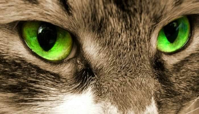 Cat eyes usually have 20/100 vision. Cats can see ultraviolet radiation but may have a hard time seeing the color red. Like dogs they have a tapetum lucidum which is a reflective layer behind the retina that sends light that passes through the retina back into the eye as this will improve the ability to see at night.