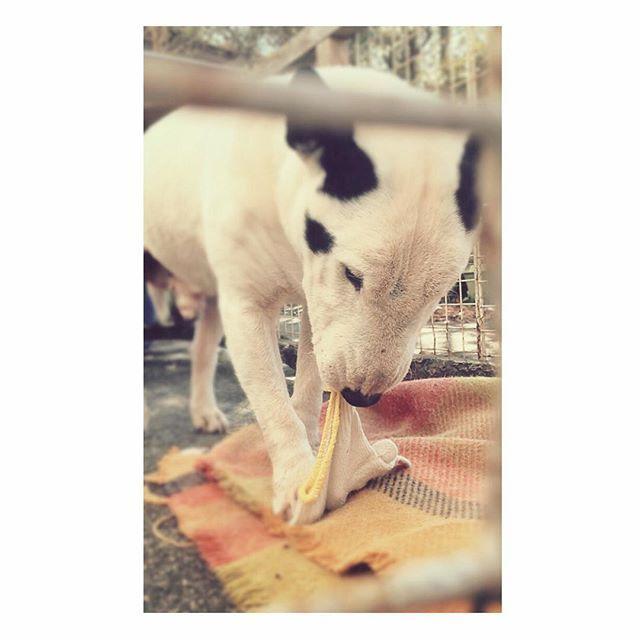 . 今日は一緒に軍手で遊んだ .  #ジャック #愛犬 #ブルテリア #ミニチュアブルテリア  #bullterrier #miniaturebullterrier #dog #instadog #instagood #love #l4l  #doglove #pet #cute #😻 #japan  #いぬすたぐらむ #🐶