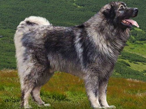 Illyrian Sheepdog: Like the majority of herd dogs, the illyrian sheepdog comes from the ancien Orient and became autochthonous through acclimatization and selective breeding. The breed was officially recognized in 1930. TheŠarplaninacorSarplaninacorYugoslavian Shepherd DogorIllyrian Shepherd Dogis adog breedof