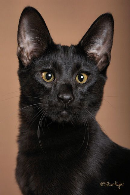 a black Savannah cat. So awesome looking. Really unique eye shape. Absolutely beautiful cat!