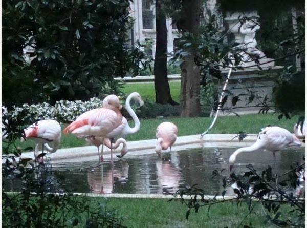 A Villa Invernizzi sono presenti animali di due specie, fenicottero rosa o maggiore ( Phoenicopterus roseum ) e fenicottero cileno ( Phoenicopterus chilensis ) - Palazzo Invernizzi è un è un edificio ispirato al classicismo che si affaccia su corso Venezia, il viale del passeggio delle belle dame in carrozza nel corso del '700 e dell'800. La notorietà del palazzo però è affidata al giardino retrostante, su via dei Cappuccini, che ospita una numerosa colonia di fenicotteri rosa, pavoni…