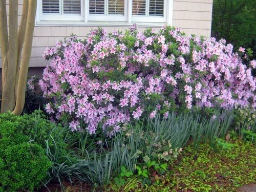 Pruning Azaleas -- When & How | The azaleas in front of Grumpy's palace are in full bloom now and looking glorious. But they wouldn't be if they hadn't been pruned at the...