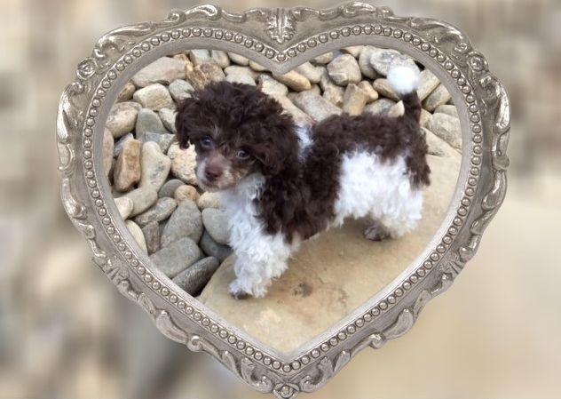 Toy Poodle Puppies For Sale Parti Chocolate White Black Sable