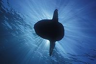 Ocean Sunfish photographs Mola mola, Mondfisch, Manbow, Pez luna