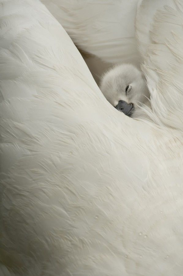 ~~innocence • cygnet (baby swan) sleeping by Olivier Mattelart~~