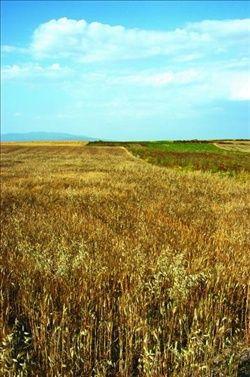 Un campo di grano in Sardegna (fonte: MareNostrum.it)