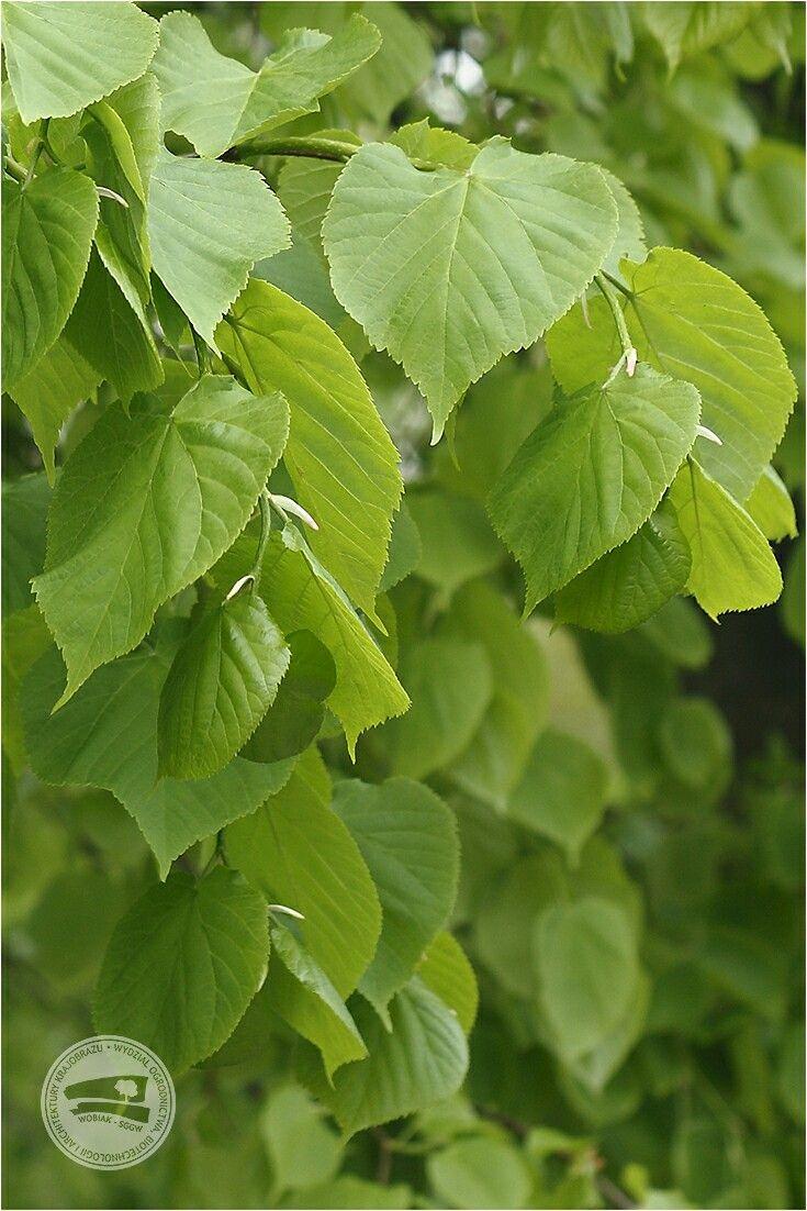 w ostatni dzień lipca #lipa szerokolistna #Tilia platyphyllos #drzewo #roślinaozdobna #roślinalecznicza #surowieczielarski #kwiatostan działanie #napotne #flawonoidy #WOBiAK #SGGW 🌳🌳🌳 #largeleavedLime or #largeleafLinden #Tiliaplatyphyllos #tree #ornamentalplant #medicinalplant #rawmaterial #flowers promote sweating to reduce #fevers contain #flavonoids #WULS