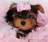 Yorkie puppies - Bing Images