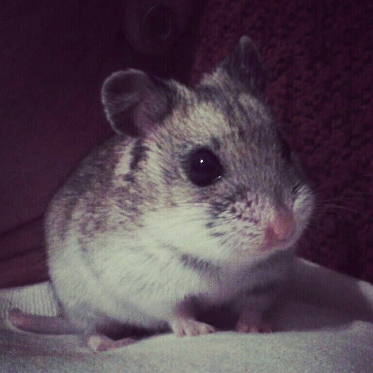 Chinese Dwarf Hamster..Soon to b a new member of the fam!