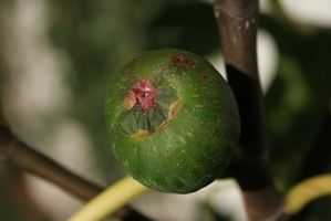 How to Care for an Indoor Fig Tree thumbnail