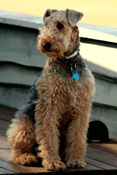 Best 25+ Airedale terrier ideas on Pinterest  Welsh terrier, Fox terrier and Terrier