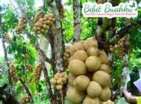 gambar buah duku mansi genjah http://www.bibitbuahku.com/bibit-buah-duku.htm