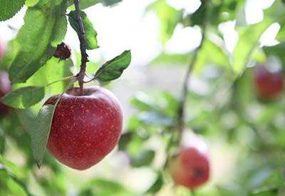 Plan On Planting Apple Trees   Planet Natural