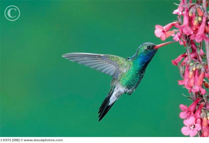 broadbill hummingbirdBroadbill Hummingbirds