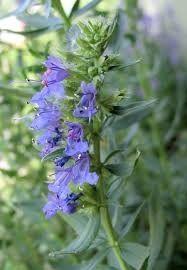 IMMUNITY STAR - (Yzop lekársky, Echinacea purpurová, Rozmarín lekársky, Tymián obecný, Ženšen, Morská riasa – Irish Moss, Verbascum thapsus)