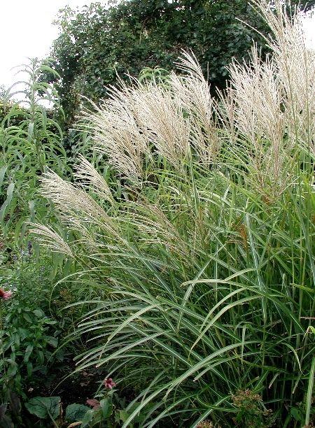 Miskantus/Japanskt Gräs,