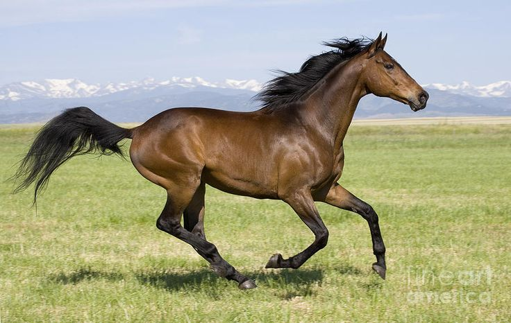 Brown bay Thoroughbred horse running in Longmont, CO