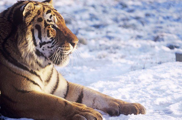 tiger subspecies essay Read this essay on sumatran tiger come browse our large digital warehouse of free sample essays get the knowledge you need in order to pass your classes and more the remaining six tiger subspecies have been classified as endangered by iucn.
