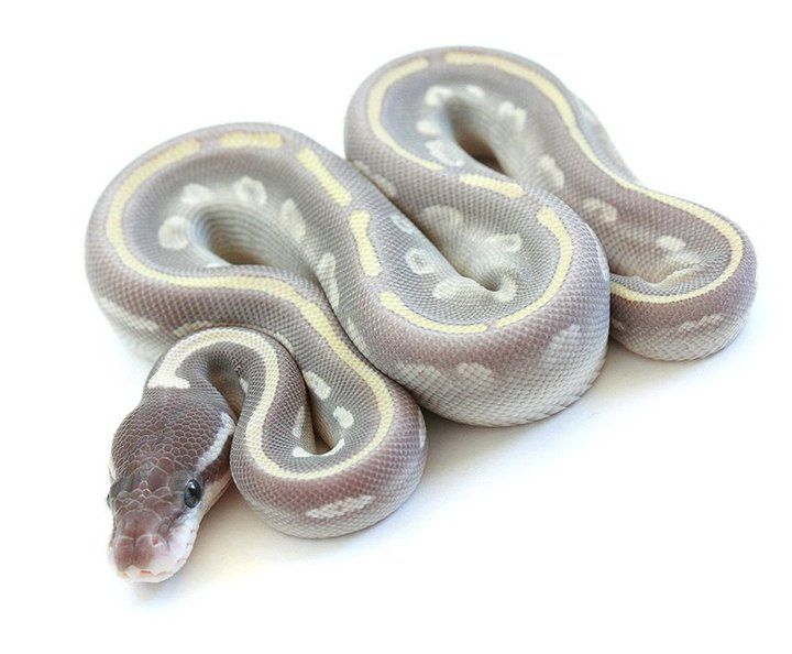 "Ball Python Morph ""Mystic Potion"" by  Keo Santoso, grey, purple, pale yellow striped, reptile, scaled, exotic animal"