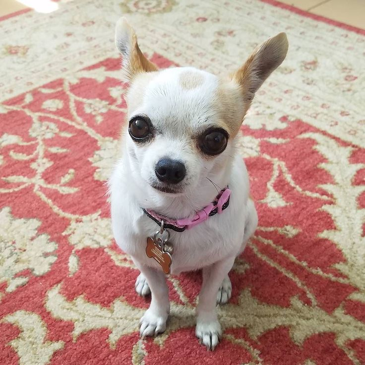 This looks just like my Pebbles! Visit our Website: www.chichisandme.com for everything Chihuahua