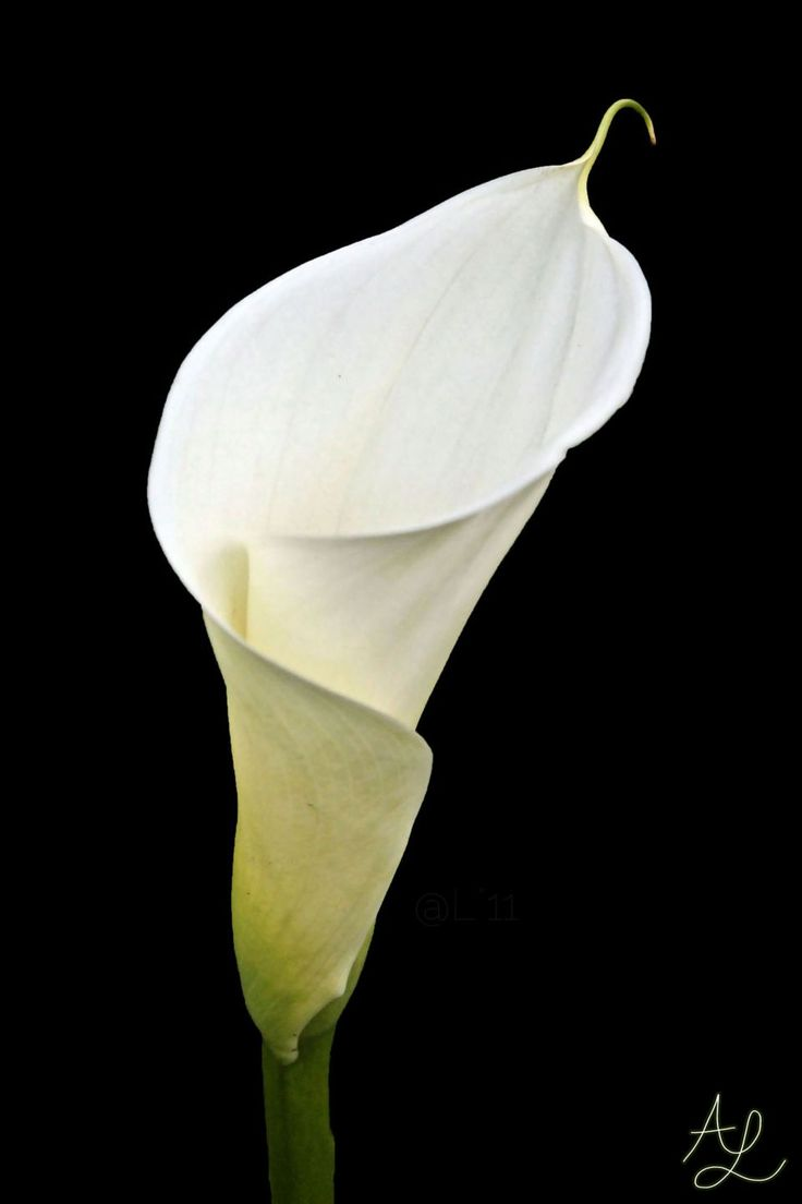 328 best images about flowers calla lilies on pinterest. Black Bedroom Furniture Sets. Home Design Ideas
