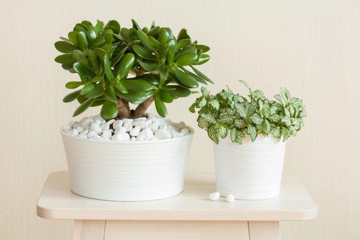 Money plant: attract prosperity into your life – Money plants