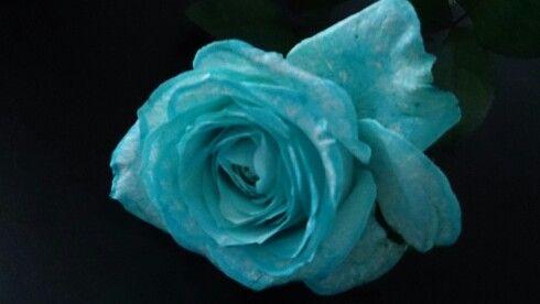 Blue Rose <3