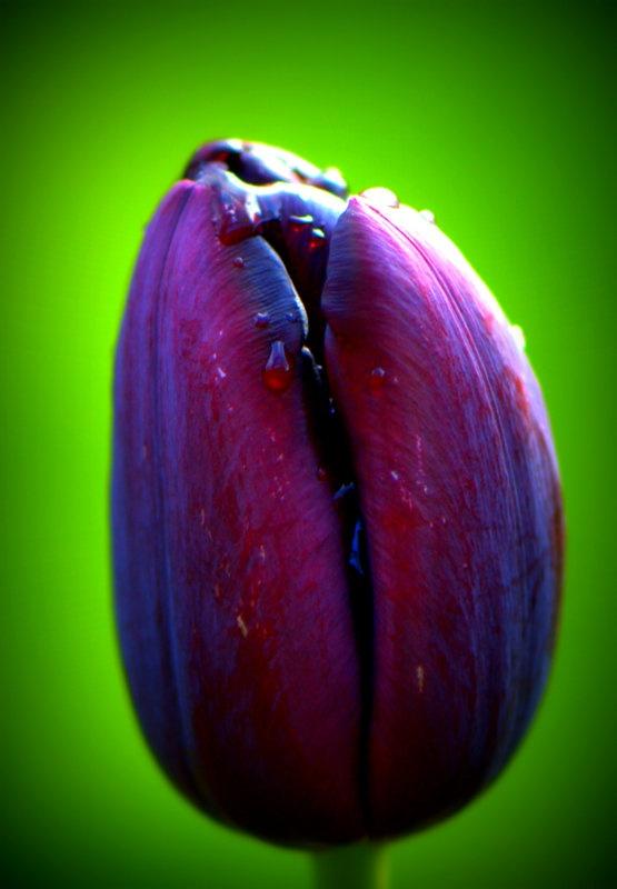 Tulipa Queen of the Night