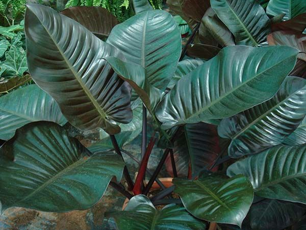 philodendron   Philodendron Red Congo- - Garden World