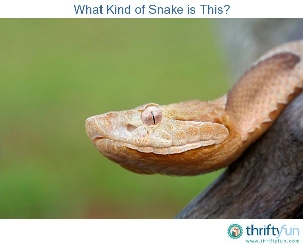 "Trying to identify a snake seen in your garden or on a camping trip can be difficult. This is a guide about ""what kind of snake is this?""."