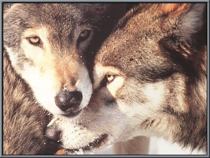 """An old Cherokee told his grandson about a battle that goes on inside people.  """"My son, the battle is between two wolves inside us all. """"One is Evil - It is anger, lust ,regret, greed, arrogance, self-pity, guilt, resentment, inferiority, lies, and ego.  """"The other is Good - It is joy, peace, love, hope, serenity, humility, kindness, benevolence, empathy, generosity, truth, compassion and faith.""""  The grandson asked, """"Which wolf wins?"""" The old Cherokee replied, """"The one you feed."""""""