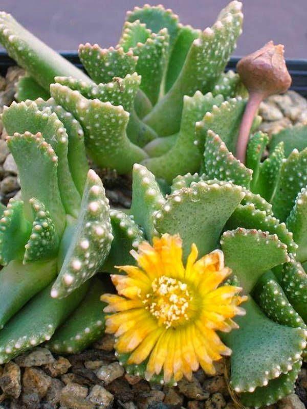 Jeito de Casa: As flores das suculentas...