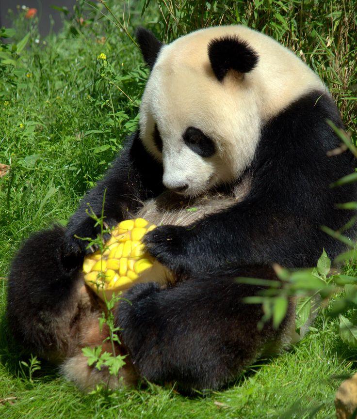 https://flic.kr/p/W4DvQn | Giant panda Wu Wen, Ouwehands Dierenpark