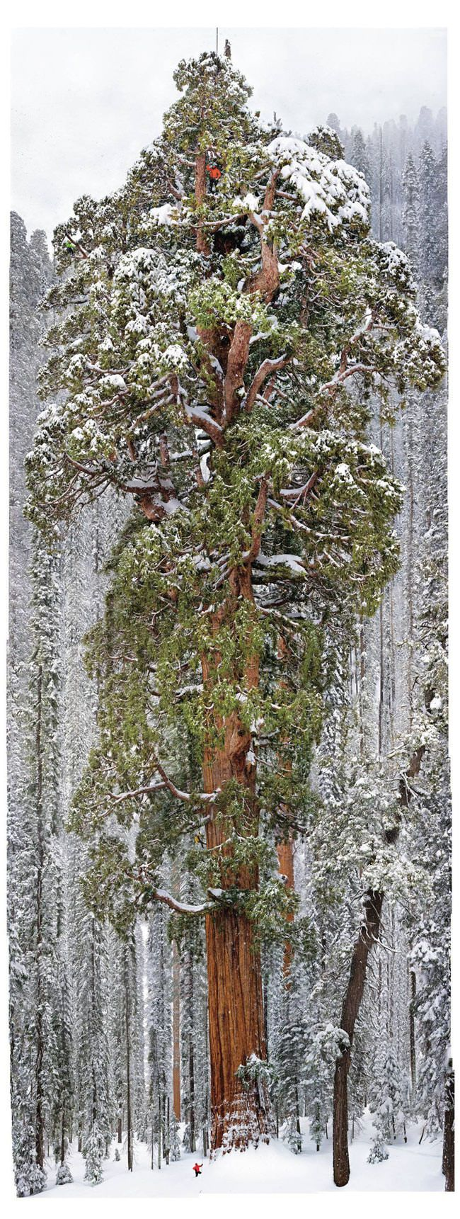 sequoia El Presidente The Presidente giant tree5