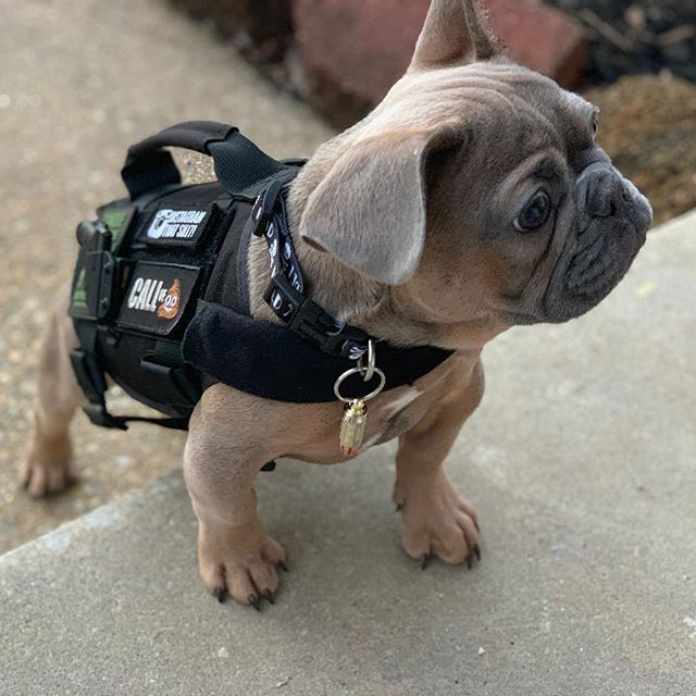 Cuttest Tactical Dog Tactical Dog Gear Dog Harness