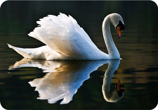 An undeniable symbol of beauty, find out more about swan meaning and symbolism here. Included Celtic perspectives and swan symbolism when they swim in our dreams.