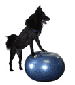 """Not my dog - but had to laugh.  This is an exercise ball for dogs.  """"Canine Conditioning""""."""